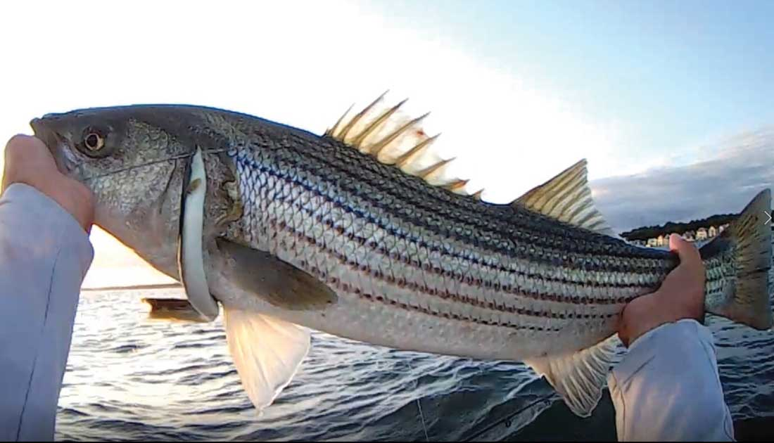 Persistence pays off. Notice the cut tail – a bluefish missed the bait.