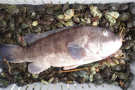 Most boats sailing for tautog this month will include the green crabs for bait, others may also have a few white leggers available in the mix often for an additional price.