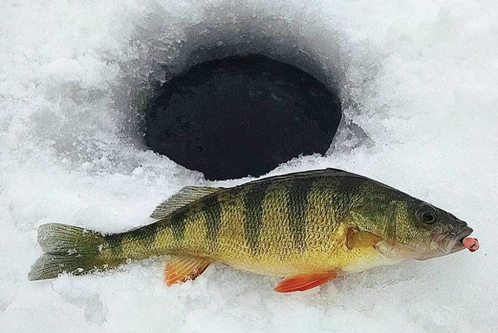 This good-sized perch was duped by pounding a small jig in the mud, pulling the fish in from a distance as it was attracted by both sight and sound.