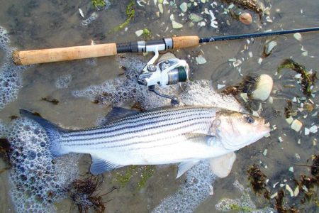 Bank on spring stripers this month