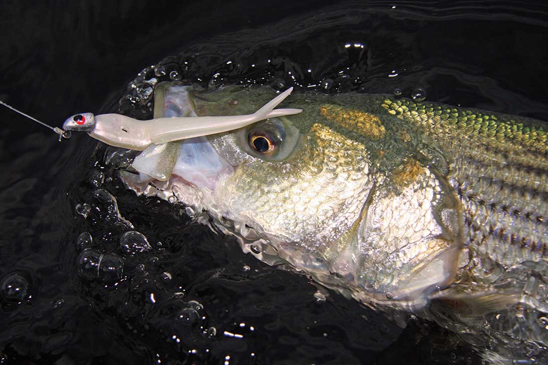 Soft plastics are a sure-fire way to hook up with April stripers!