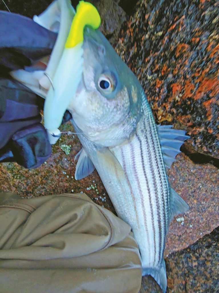 When fish become very selective or are heavily pressured oftentimes using a soft plastic with bright chartreuse tail can trigger a strike.