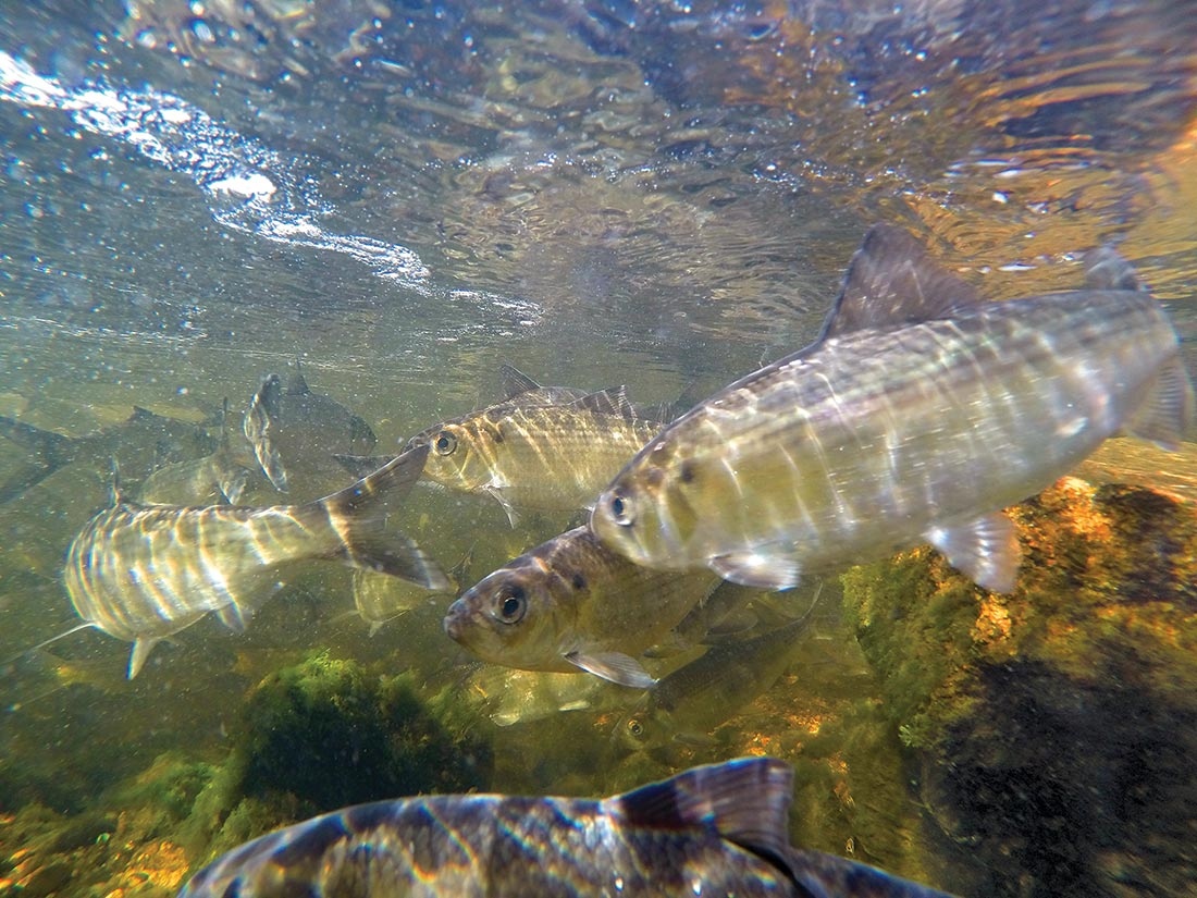 """With a continued moratorium on the harvest of river herring, anglers have made a science out of fooling big bass in and around schools of tasty """"bass candy"""" like these."""