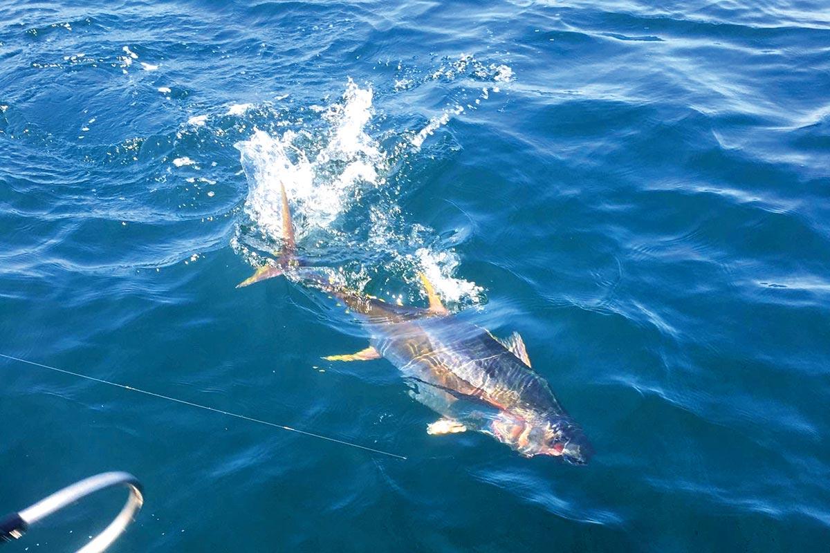 gaff a tuna