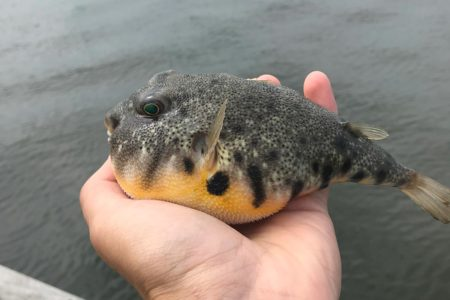 This little guy was caught off the Captree Pier Memorial Day weekend of this year. Photo by Captree Bait and Tackle.