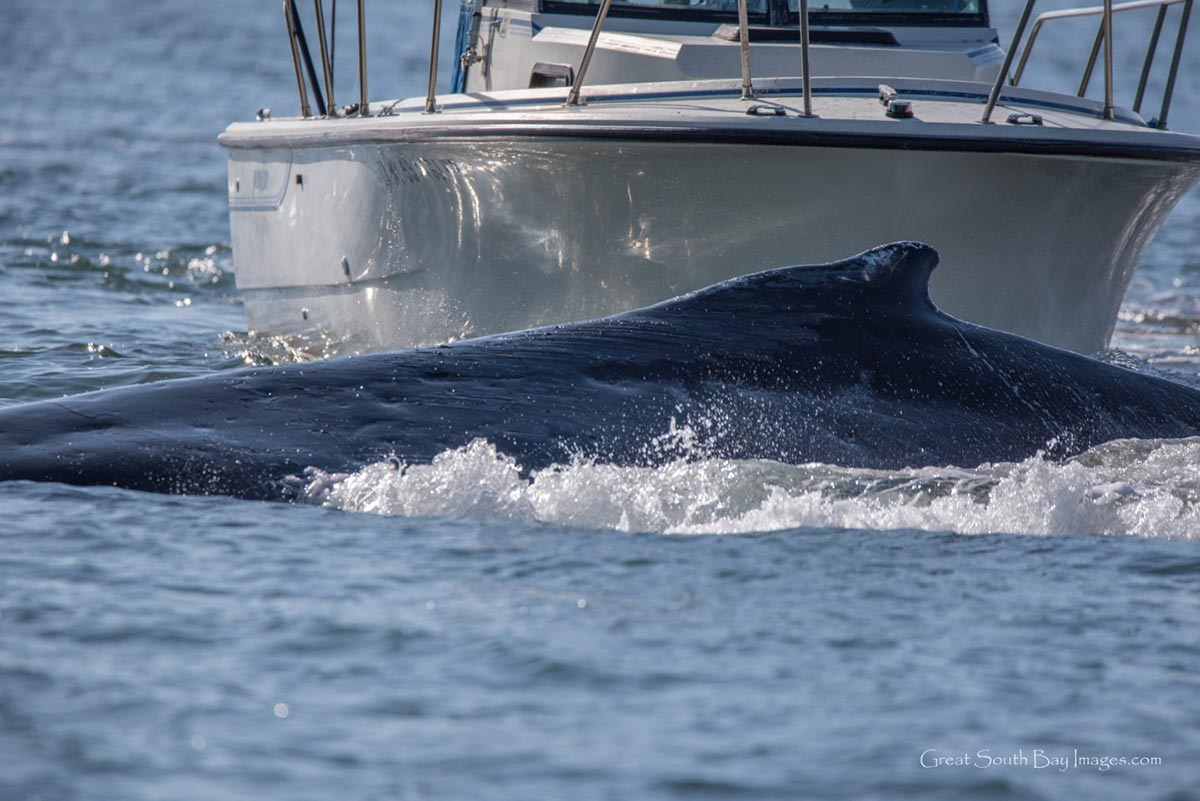 Boat and whale on collision course in Reynolds Channel in November 2017. Photo by Mike Busch