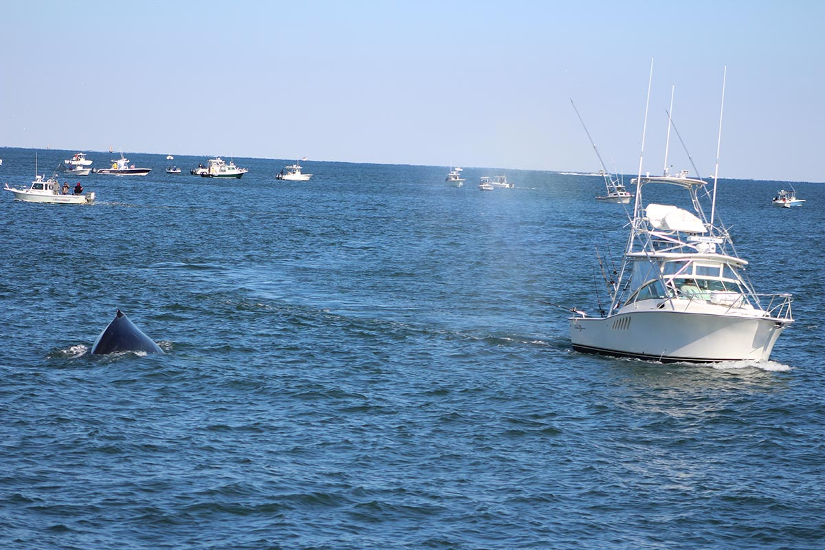 Whale in the middle of the South Shore bass fleet. Photo by Danielle Brown