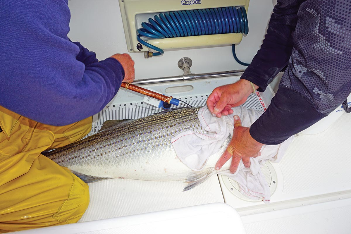 Striped bass fitted with satellite tags