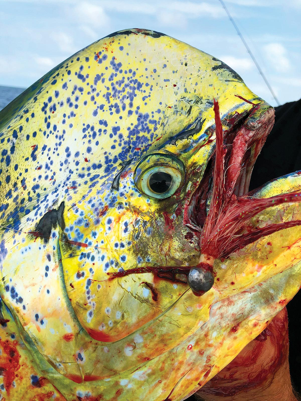 a bucktail of 3/8- to 1-ounce will work best to pull mahi off the pots