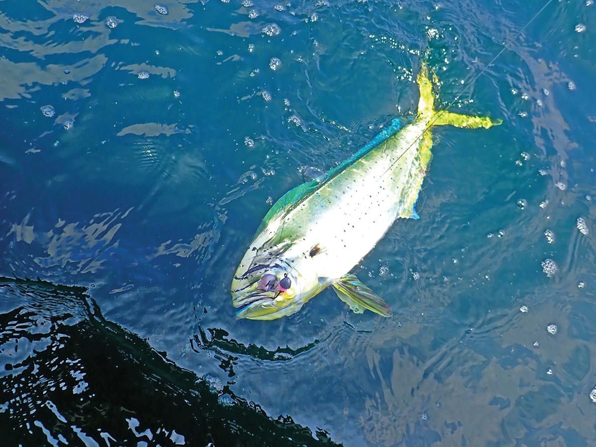 Mahi are capable of reproducing at 4 to 5 months old