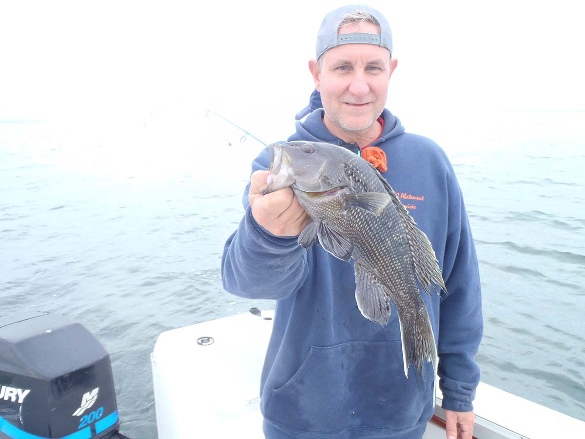 Adult sea bass
