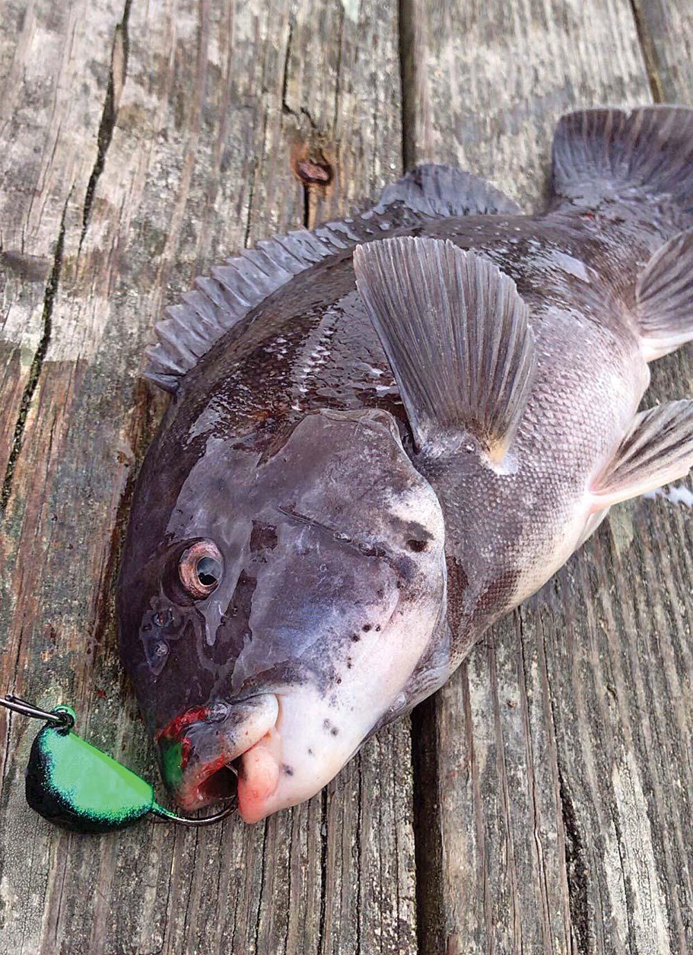 Shoreside Tog Tactics Blackfish