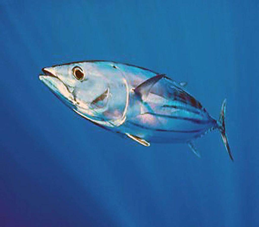 OFFSHORE Atlantic Skipjack Tuna