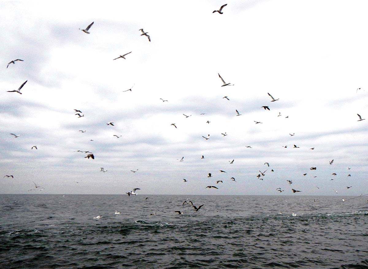 Birds like these gannets and gulls