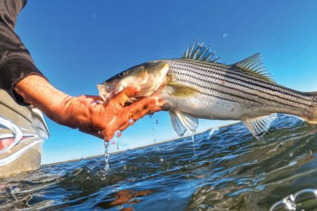 Northeast Striped Bass Study