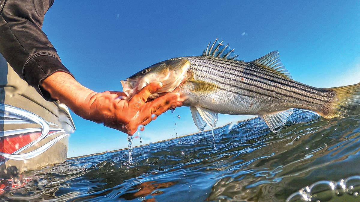 Northeast Striped Bass Study