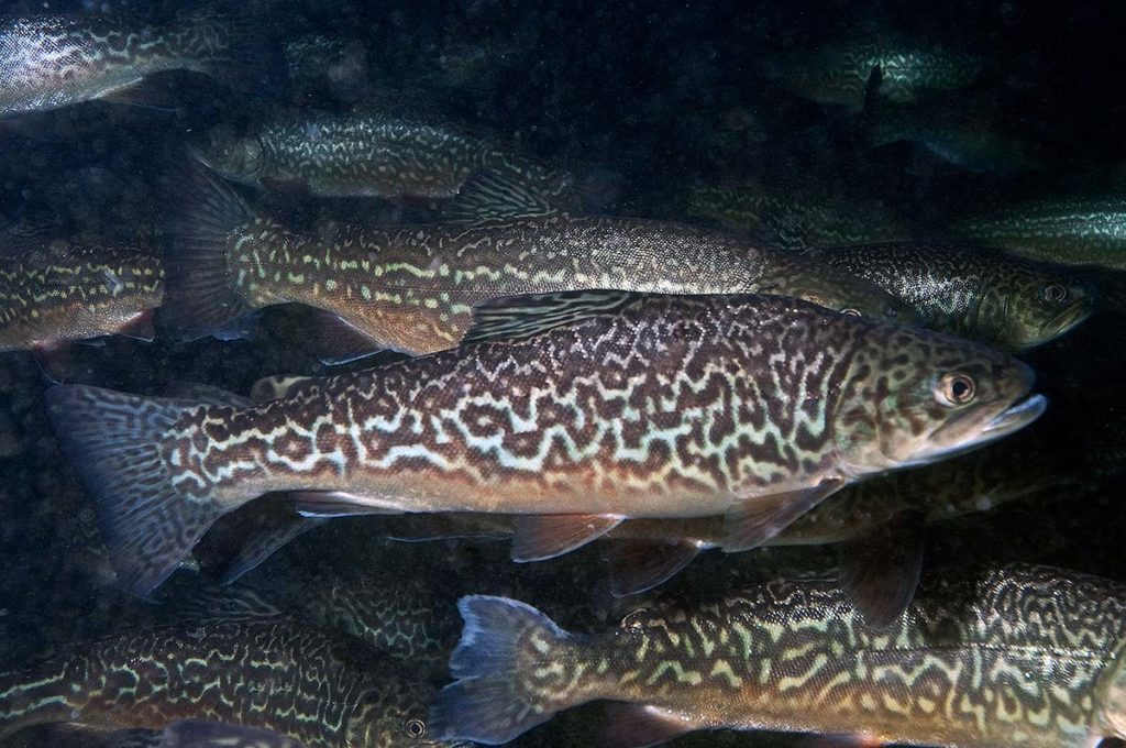 tiger trout