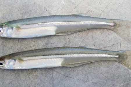silversides